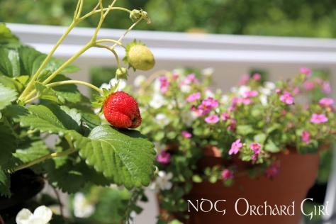 Our strawberry plant and front balcony flower pot.